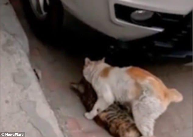 Кот не бросил своего погибшeго друга на улице и перенес в безопасное место