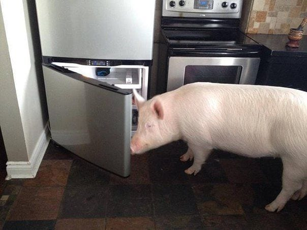 Карликовая свинка весом в 227 кг