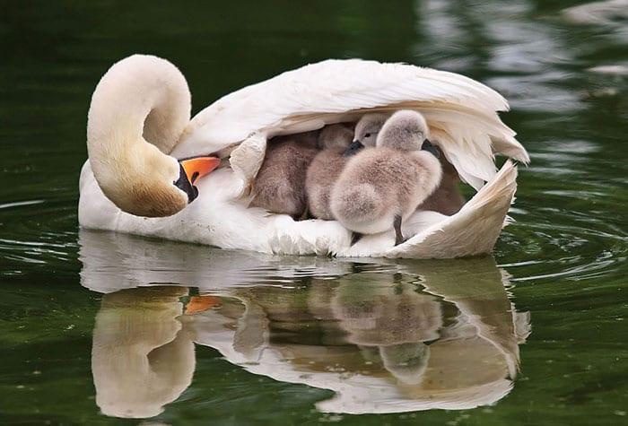 33 волшебных фото мам-птиц с птенцами