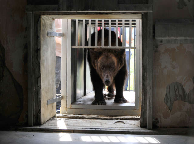 Медведица, которую использовали для притравки собак, впервые в жизни нюхает цветы
