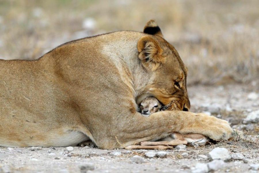 Львица, дети которой были убиты, усыновила детеныша антилопы