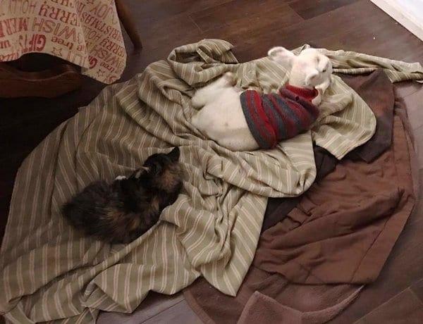 Кошка усыновила ягненка и заботится о нем, как о своем ребенке