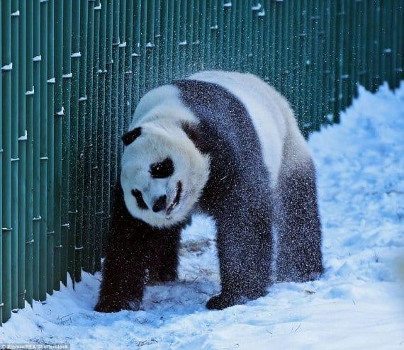 ВИДЕО и ФОТО: Маленькие неуклюжие панды впервые увидели снег