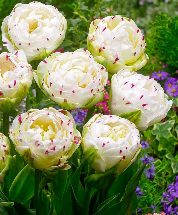 Топ 30 самых красивых тюльпанов