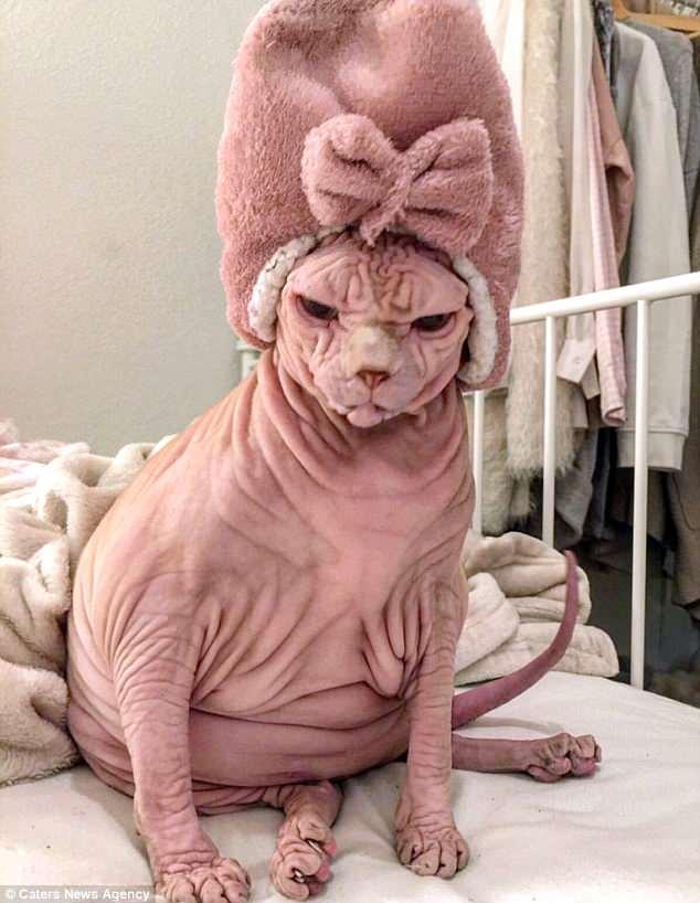 Сердитый голый кот Джердан – восходящая звезда Сети (12 фото)