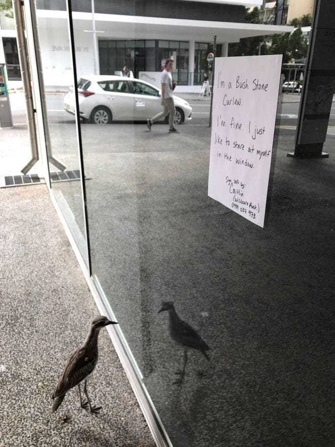 Птичка каждый день приходит любоваться на свое отражение в одном и том же окне