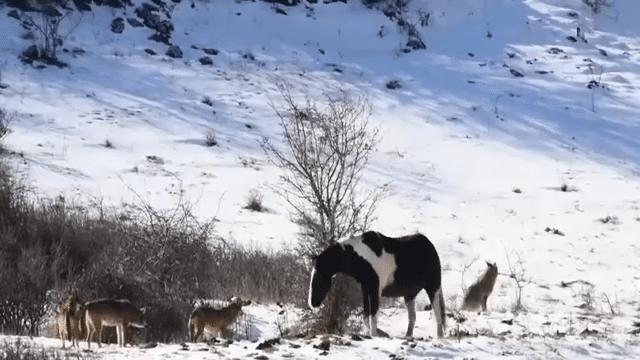 ВИДЕО: Волки окружили лошадь, но ее реакция их озадачила
