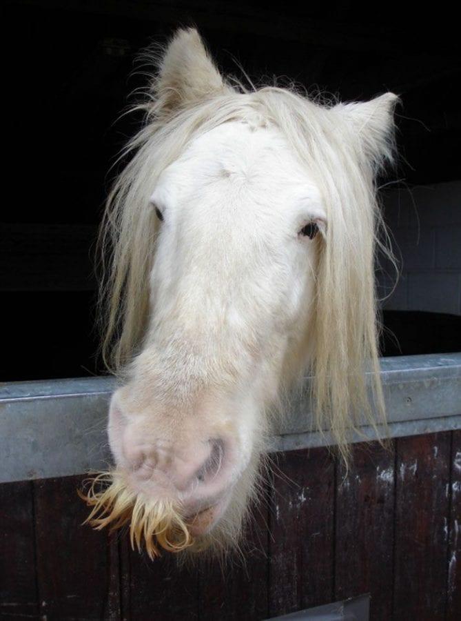 14 фото экстремально усатых лошадей