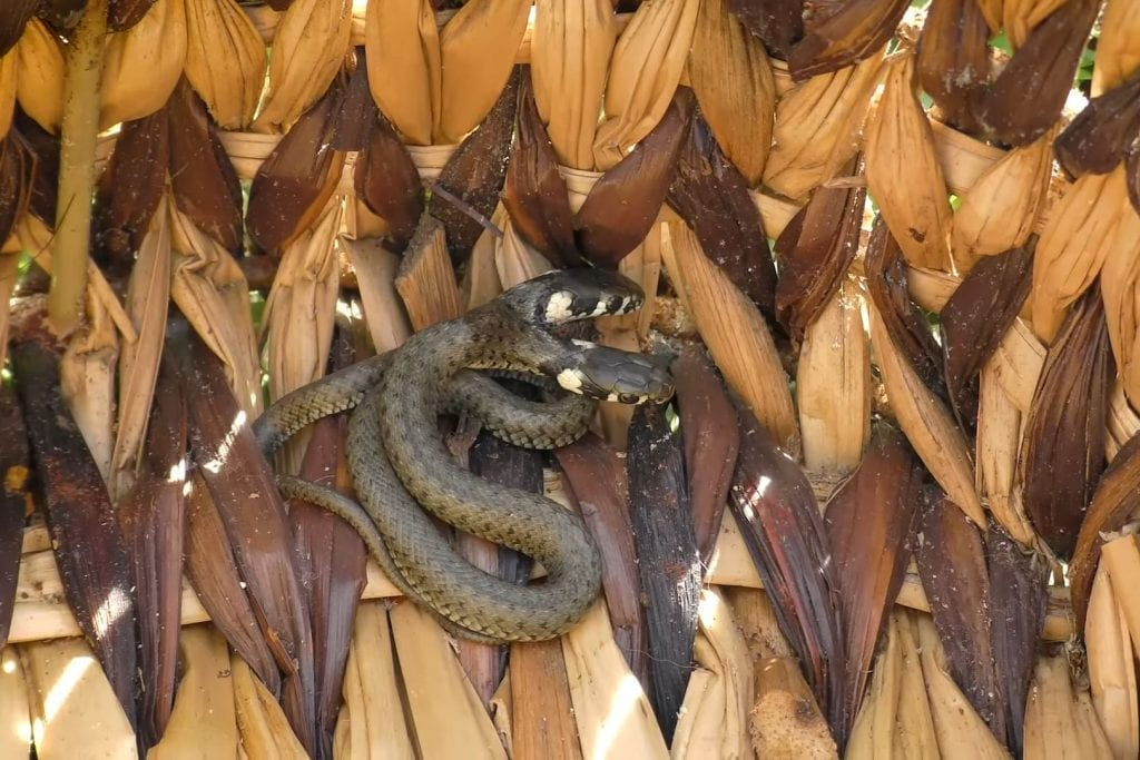 ВИДЕО: Мужчина спас от верной смерти редкого змееныша-мутанта