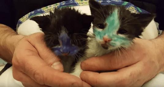 Полицейские спасли из рук подростков раскрашенных котят