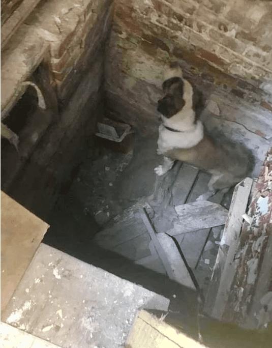 Сенбернар, угодивший в яму, плакал, когда пришли спасатели