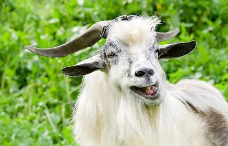 История про козла Мафиози, который терроризировал всю деревню, дорогу местного значения и охотников в лесу