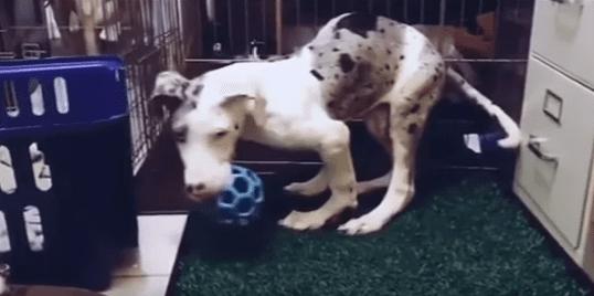 Гoре-заводчик собак повязал брата и сестру, обреча щенков на инвaлидность