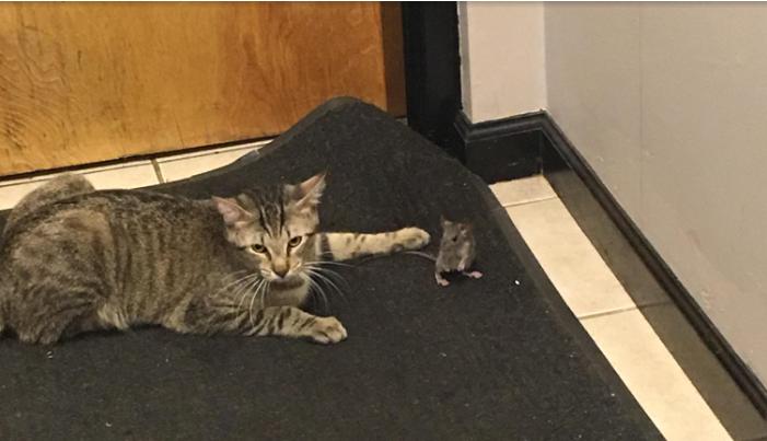 Парень завел кота, чтобы тот поймал мышь, но все пошло не по плану