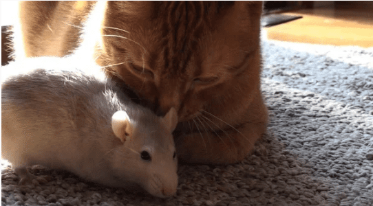 Удивительная дружба котика и крысы