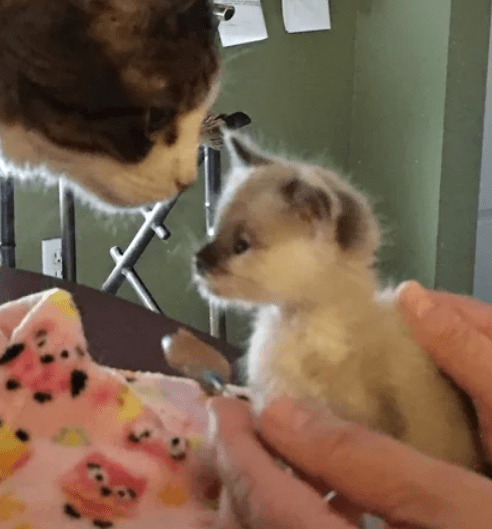 Странный крошечный котенок, который не мяукает, а жужжит, таки нашел свое счастье