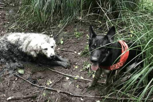 Только пес-спасатель смог найти в болоте потерявшуюся глухую собаку