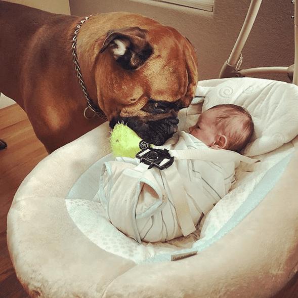 Огромный бульмастиф нянчит малыша и подарил ему самое ценное
