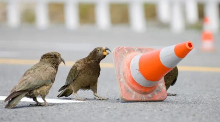 Кеа: попугай-отморозок, для которого законы не писаны