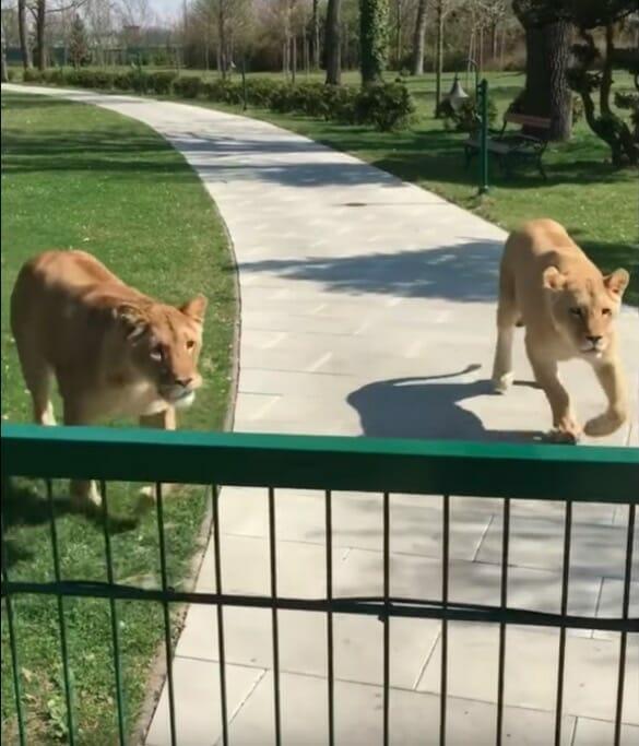 Женщина и 2 львицы, которых она вырастила, встретились через 7 лет
