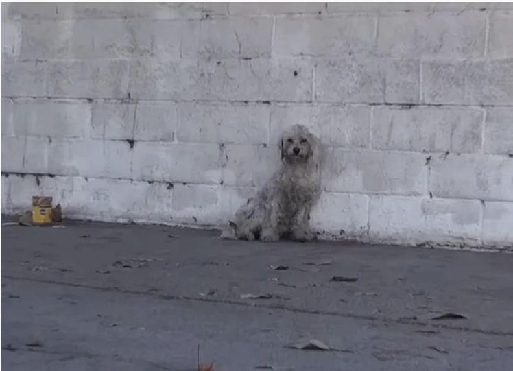 Бездомный пудель попал под машину и с тоской ждал конца
