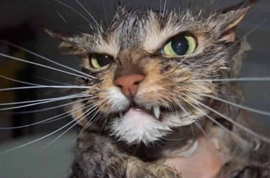 Как вымыть кота и остаться живым: реальная пошаговая инструкция