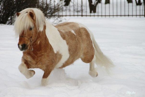 Плюшевые шетлендские пони - удивительные мохнатые лошадки