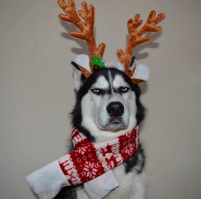 10 фото хаски, недовольного новогодним костюмом