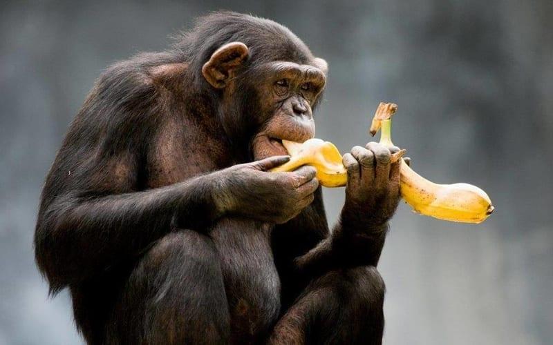 Взаимовыгодный гешефт в зоопарке между шимпанзе и человеком