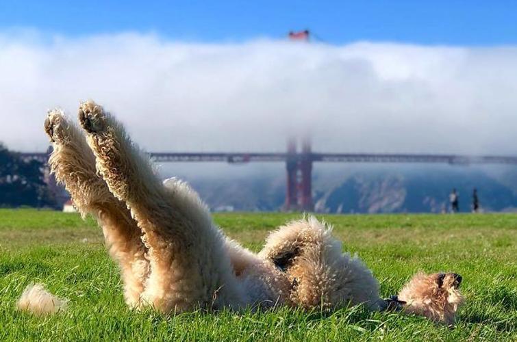 Самые смешныеи добрые собаки в мире - голдендудли