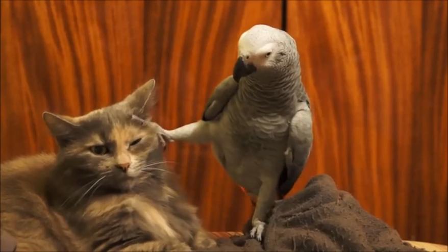 Кот зарыл топор войны, сделав попугаю царский подарок
