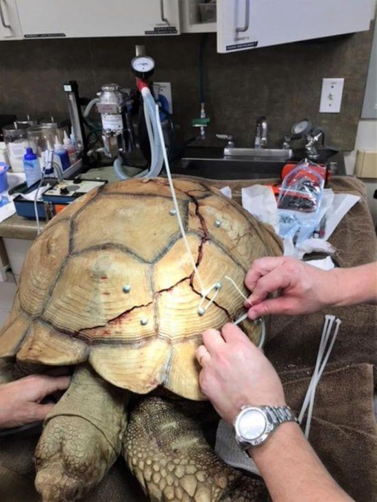 Как гигантской черепахе ремонтировали треснувший панцирь