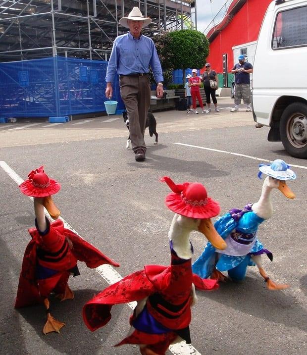 Раз в год австралийцы одевают гусей в шикарные наряды
