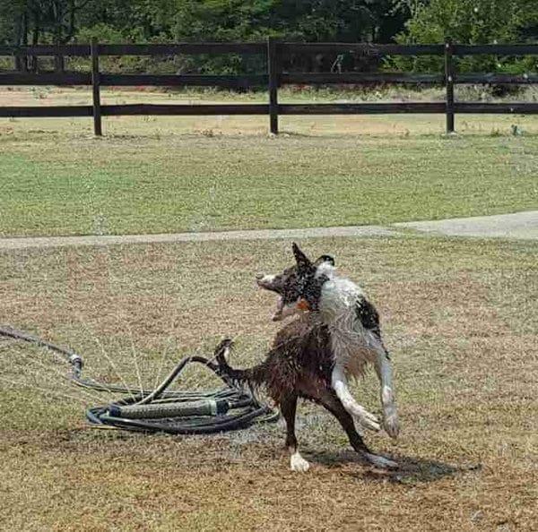 Собака решила освежиться в жаркий день. Хозяев чуть кондрашка не хватила.