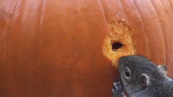 ВИДЕО: Белочка увидела тыкву и сделала из нее шедевр