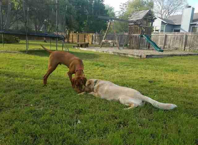 Влюбленных собак разделял высоченный забор. Хозяева-соседи придумали, как им помочь.