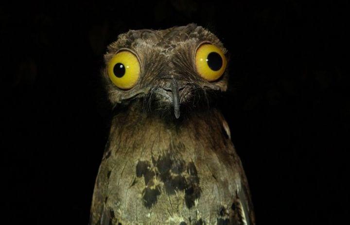 Глаза козодоя ночью