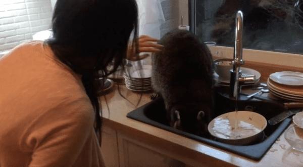 Енот через окно увидел грязную посуду и решил ее помыть