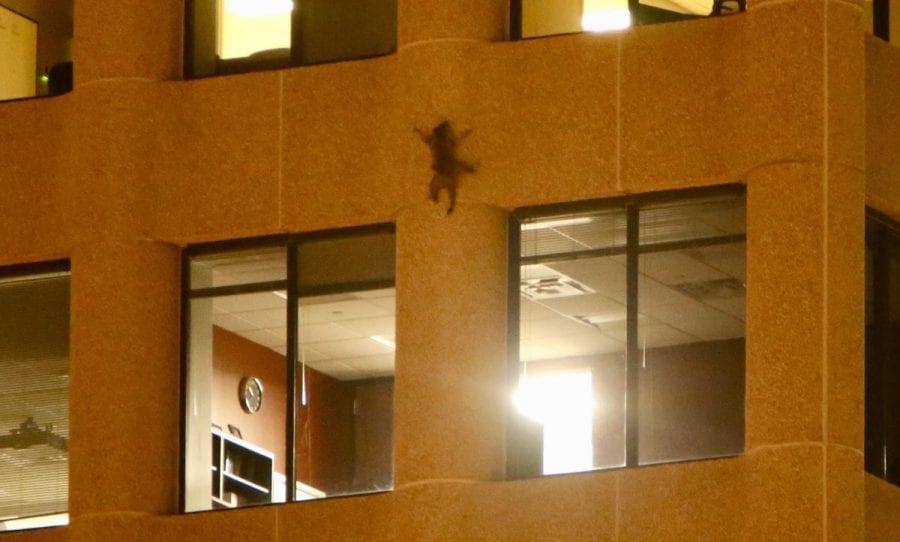 Енот-верхолаз забрался по стене на крышу 28-этажного здания