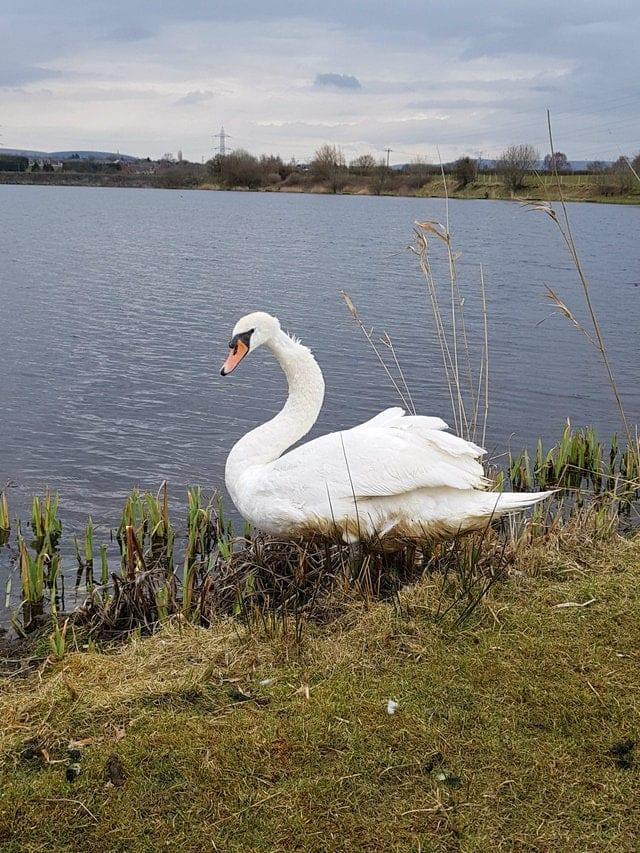 Жители Англии очень удивились, увидев на озере черного лебедя. Оказалось, что он не черный.