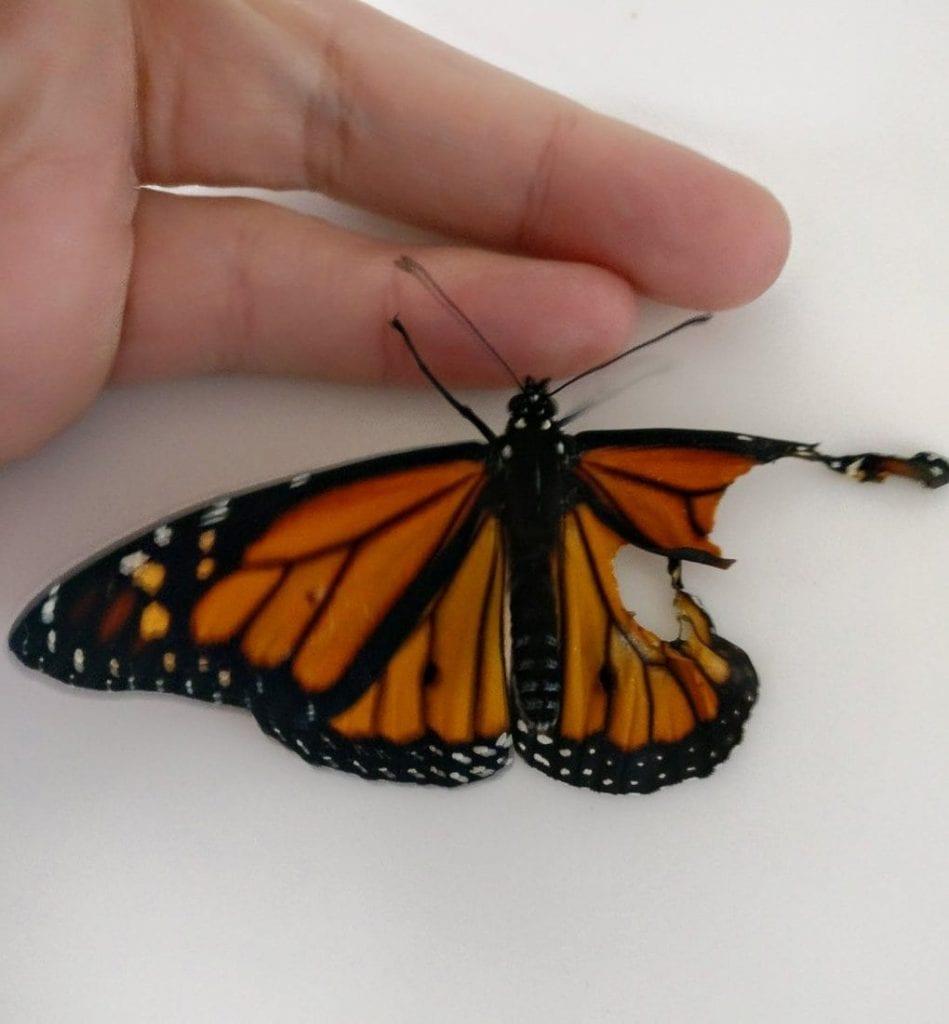 Девушка прооперировала бабочку, у которой не было шансов выжить