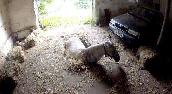 Спасение лошади из гаражной ямы