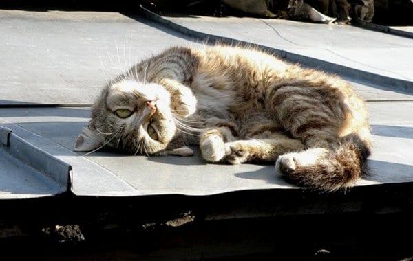 На крыше дома вороны клевали кота, который не мог уйти