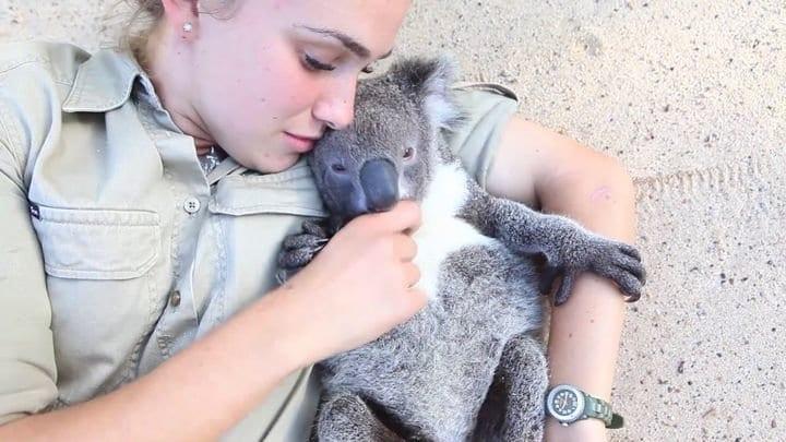 Невезучую коалу спасли уже в 4-й раз, и следующий - будет последним