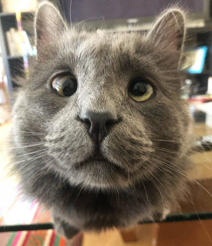 Приютский кот с необычной внешностью нашел любящую семью и хвостиком ходит за хозяйкой