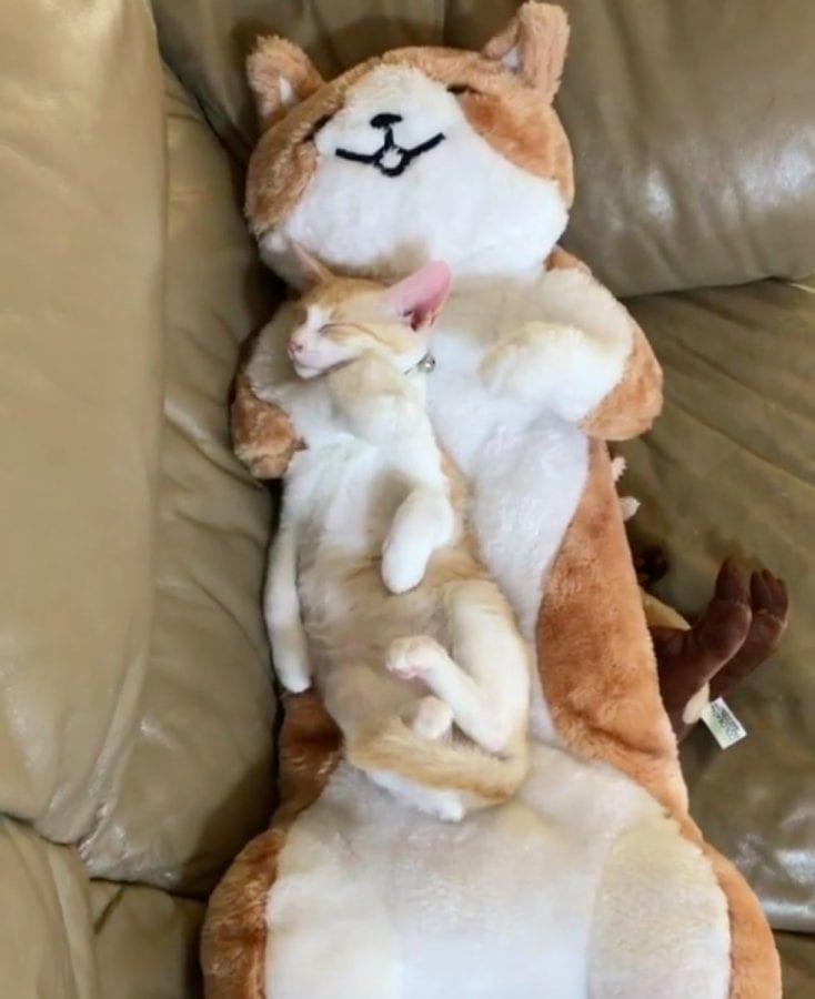 Котенку купили искусственную маму, чтобы он не скучал по своей