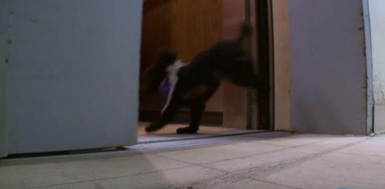 Тикап-пудель каждый день ходит на работу в дом престарелых