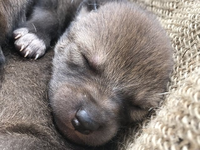В США родились щенки, которые стали событием планетарного масштаба