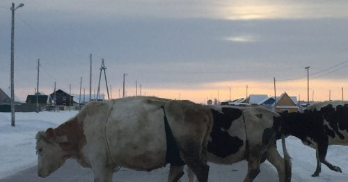 Шотландский фермер повеселил Сеть, надев на корову бюстгальтер