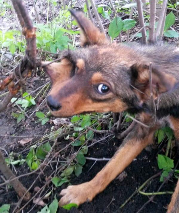 Собака несколько дней просидела рядом с дачами, зацепившись за проволоку